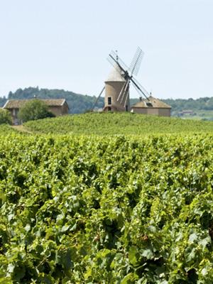 Weinberge in der Beaujolais Region