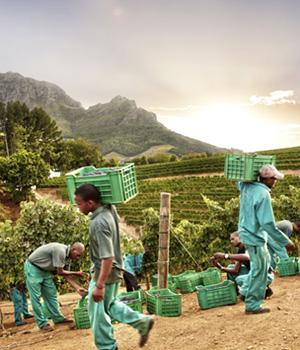 Traubenlese auf dem Weingut Delaire Graff Estate
