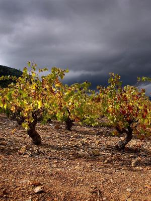 Autochthone Reben im Roussillon