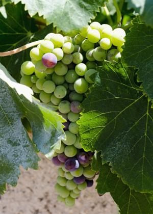 Vermentino-Trauben aus Sardinien am Rebstock