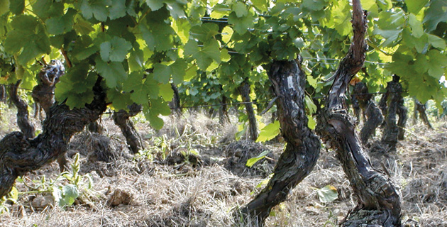 Alte Reben – Genuss aus den Tiefen der Weinberge