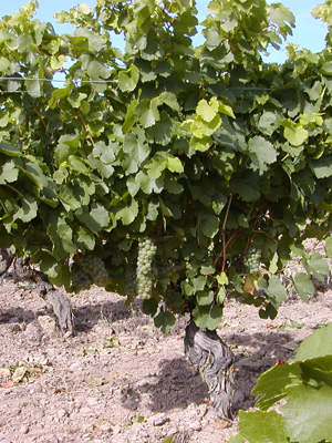 75 Jahre alte Rebstöcke auf dem Weingut von Gerhard Gutzler