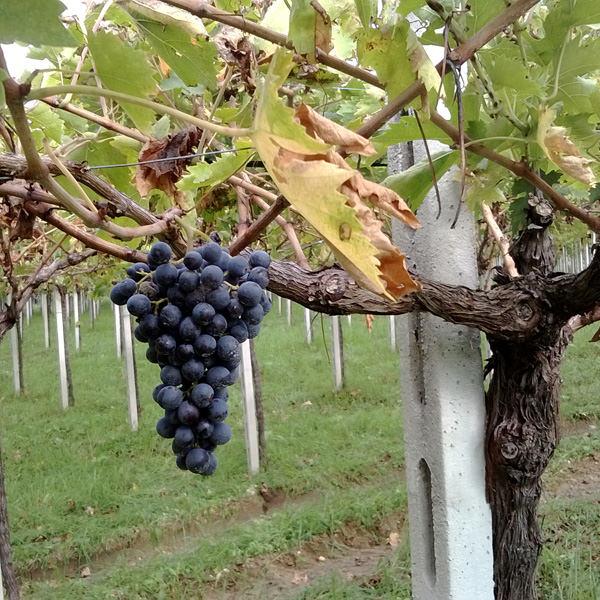 Der Montepulciano d'Abruzzo kann wesentlich mehr als nur ein Tafelwein sein