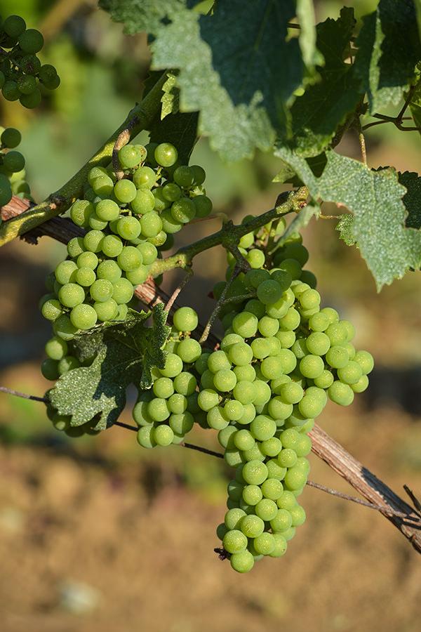 Weisse Trauben weissen in der Regel deutlich mehr Säure auf im Vergleich zu roten