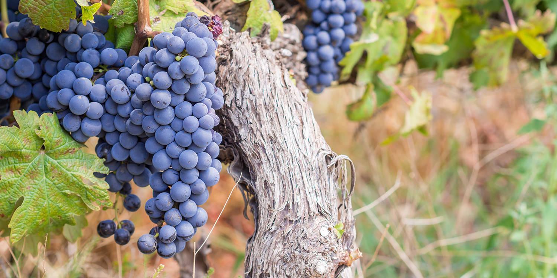 Der Pinotage – Abrahams Kreuzung für Südafrika