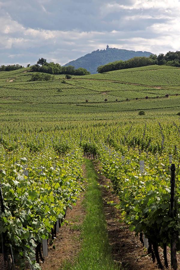 Weinbau am Fusse der Südvogesen