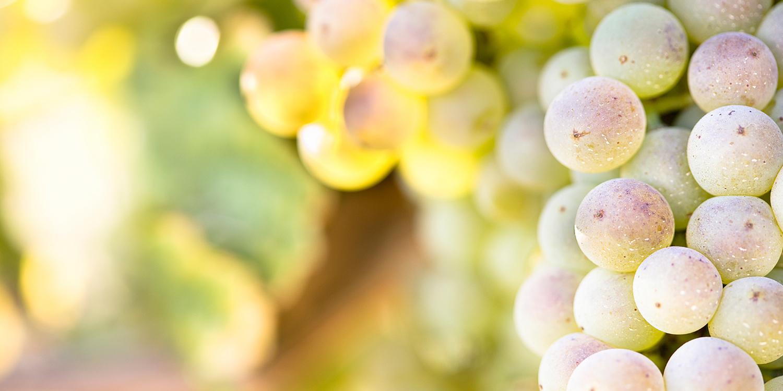 Chardonnay –  fein und elegant statt protzig