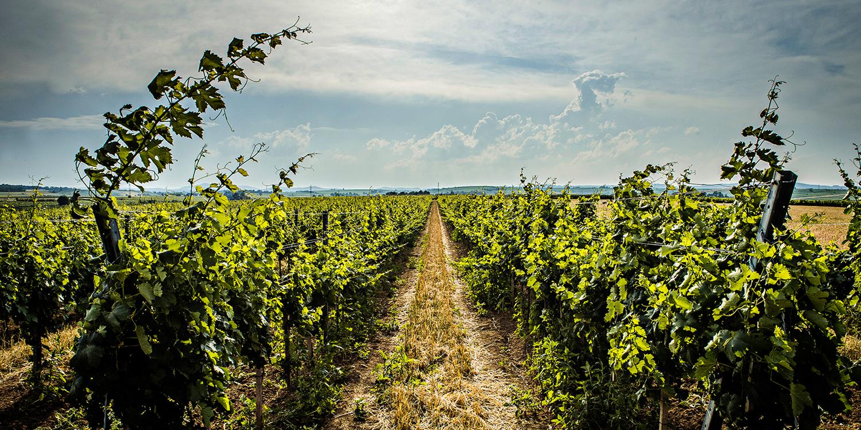 Berühmte Weinlagen – Zöbinger Heiligenstein