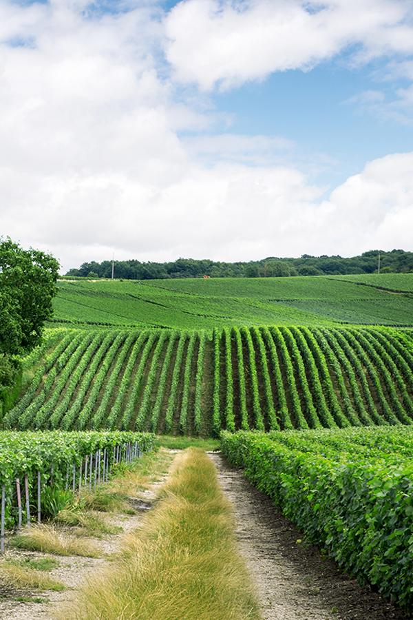 In der Champagne zählt Pinot Meunier zu den drei wichtigsten Rebsorten