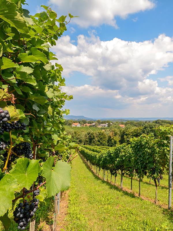 Über 90% des österreichischen Blaufränkisch wächst im Burgenland