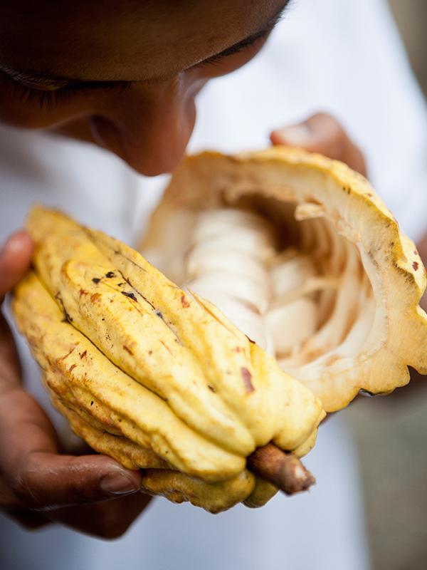 Kakao aus Ecuador steht für intensiven Geschmack und ausgeprägte Aromen