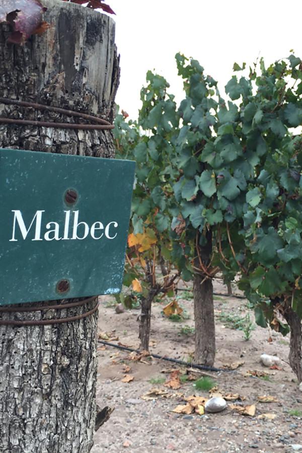 Die Rebsorte Malbec in Argentinien