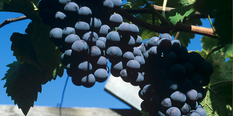 Vernatsch – die sommerlichste Rotweinrebe