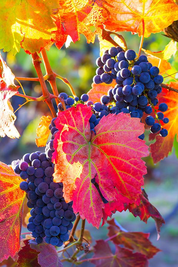 Die Rotweinsorte Malbec ist in Argentinien sehr beliebt