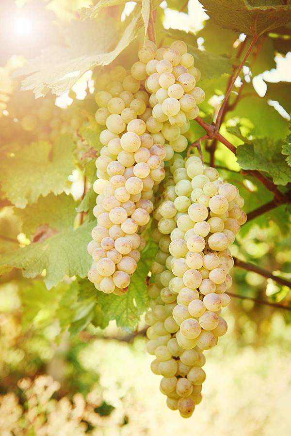 Chardonnay ist eine beliebte Weissweinsorte der Familie