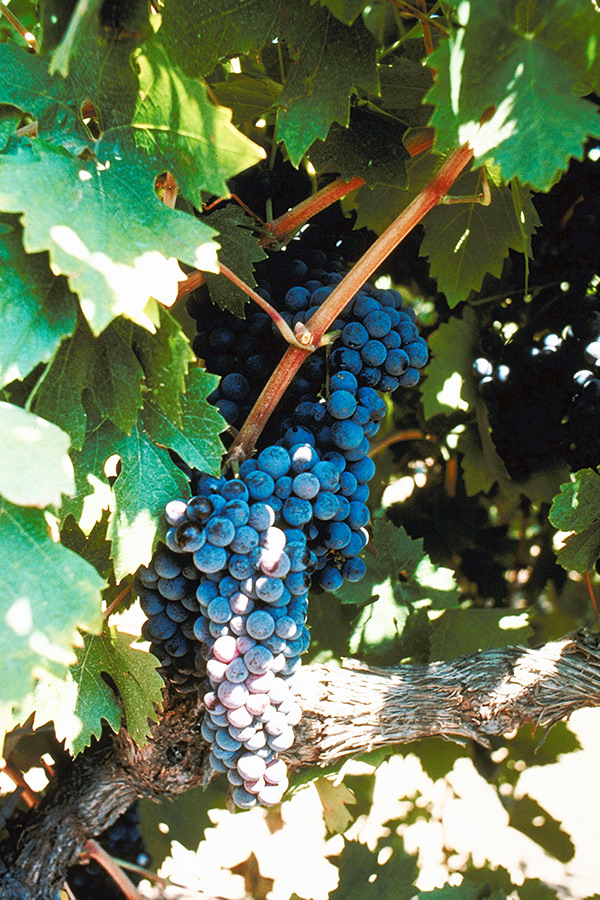 Der Grossteil des Taita besteht aus Cabernet Sauvignon
