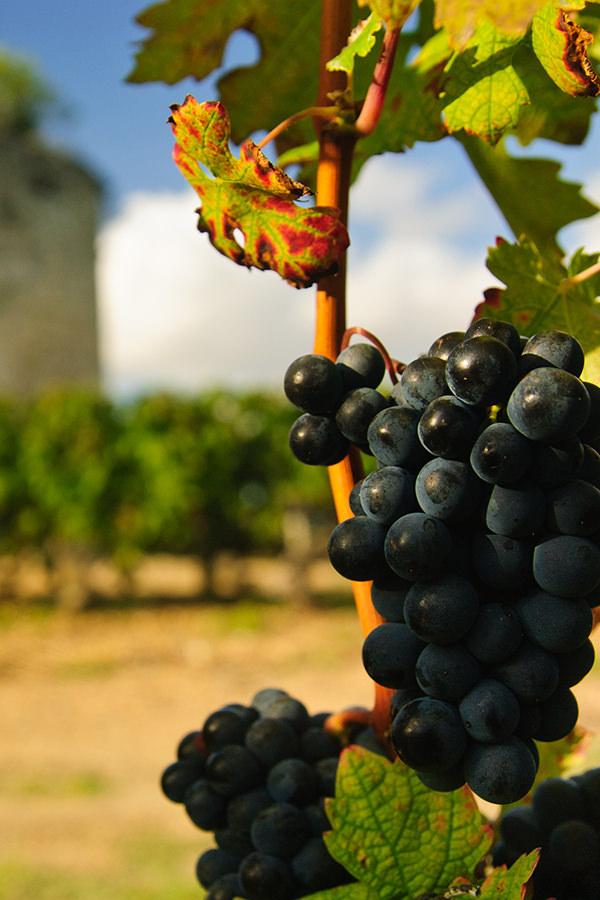 Rote Weintrauben aus der Region Bordeaux
