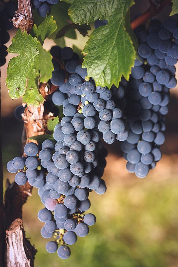 Cabernet Franc ist als Rotweinsorte sehr dominant