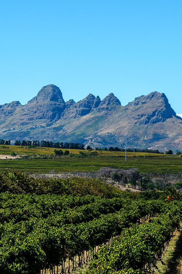 Weinreben in der Region Stellenbosch