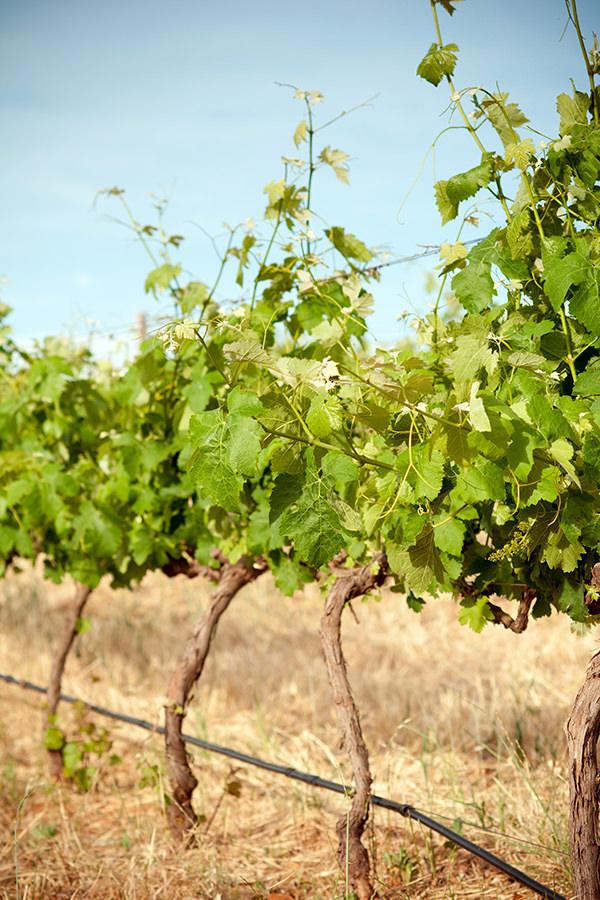 Weinreben in warmer trockener Region Südafrikas