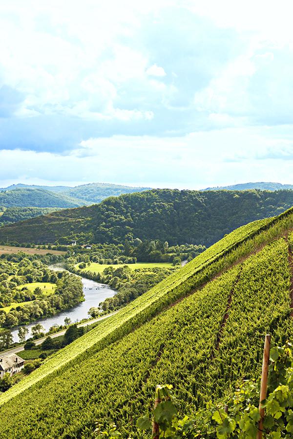 Überwiegend Riesling wird im Weingut angebaut