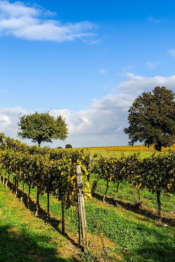 Weinbau im Burgenland in Österreich