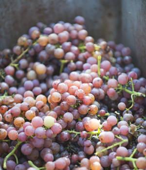 Grauburgunder - eine ungewöhnlich dunkle Weissweinsorte