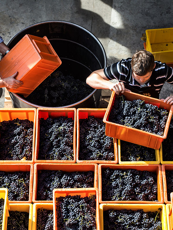 Die Ernte der Rotweinsorte Pinot Noir