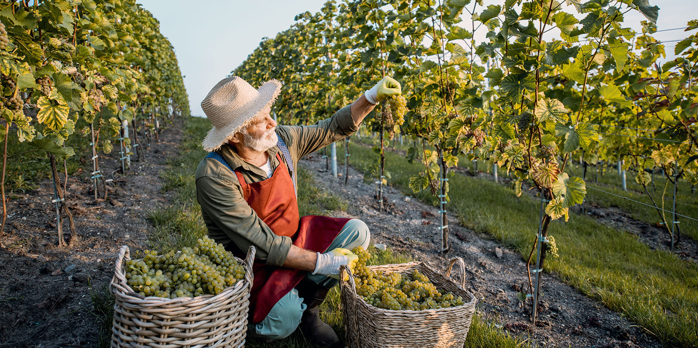 Sauvignon Blanc – Phoenix für Frische-Fetischisten