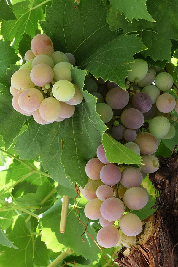Prächtige Trauben für hervorragenden Wein