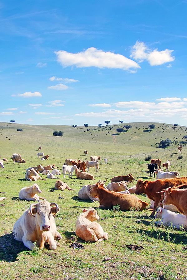 Rinderzucht in Alentejo - Portugal