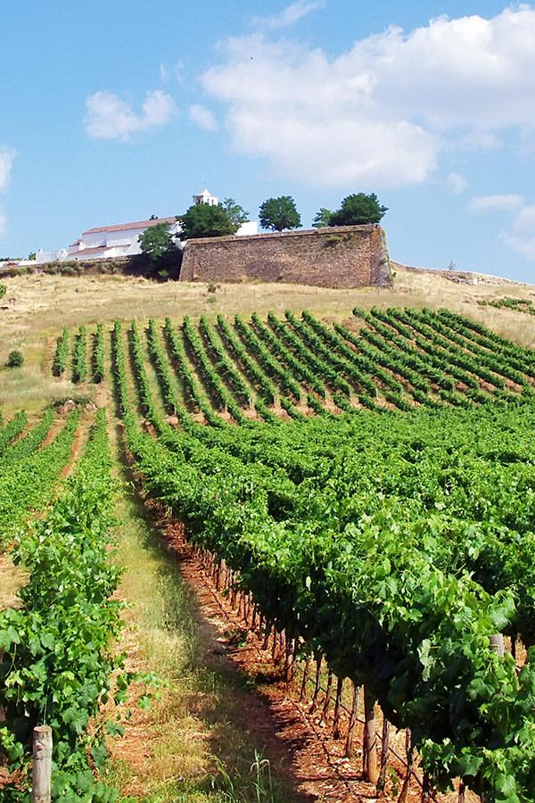 Weinreben im portugiesischen Gebiet Alentejo