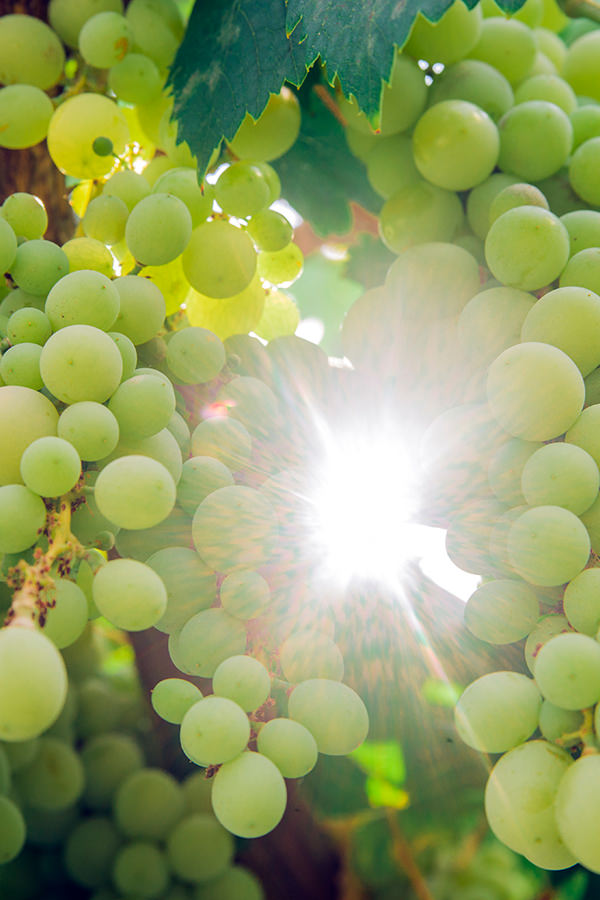 Sonnenverwöhnte Trauben in voller Pracht