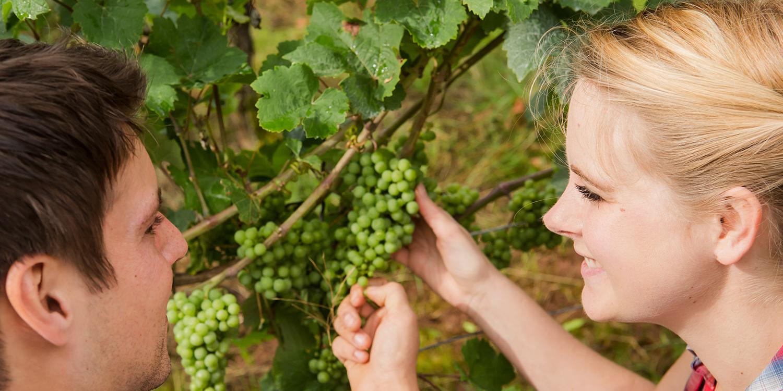 Scheurebe und Sauvignon Blanc – Ein Vergleichsversuch
